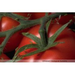 Macrolophus pygmaeus sur tomates