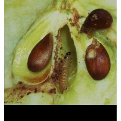 Dégâts dans le fruit