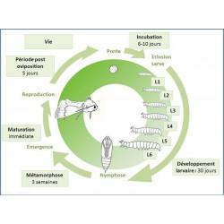 Cycle de développement de Mamestra brassicae. J. Poidatz (Koppert)