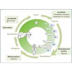 Cycle de développement de Acrolepiopsis assectella à 25°C.  (J. Poidatz-Koppert)