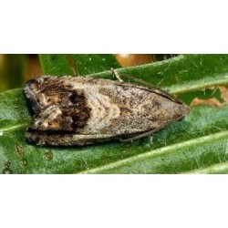 Papillon Carpocapse des châtaignes