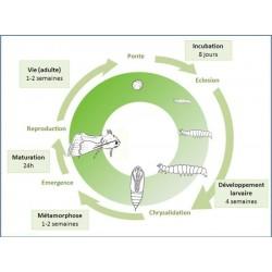 Cycle de développement Duponchelia fovealis (Source Koppert)