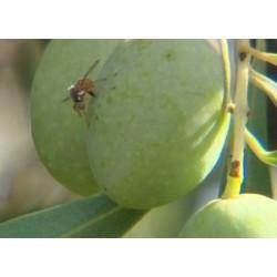 Bactrocera (Dacus) oleae sur olive