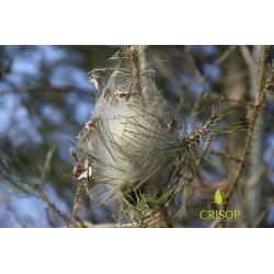 Cocon chenilles processionnaires du pin