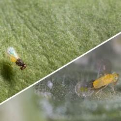 Adulte Eretmocerus eremicus et Adulte Encarsia formosa (Crédit photos : Kopert)
