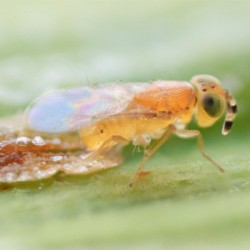 Metaphycus flavus (Crédit photos : Entocare)