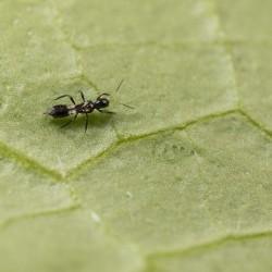 Franklinothrips vespiformis adulte (Crédit photo : Koppert)