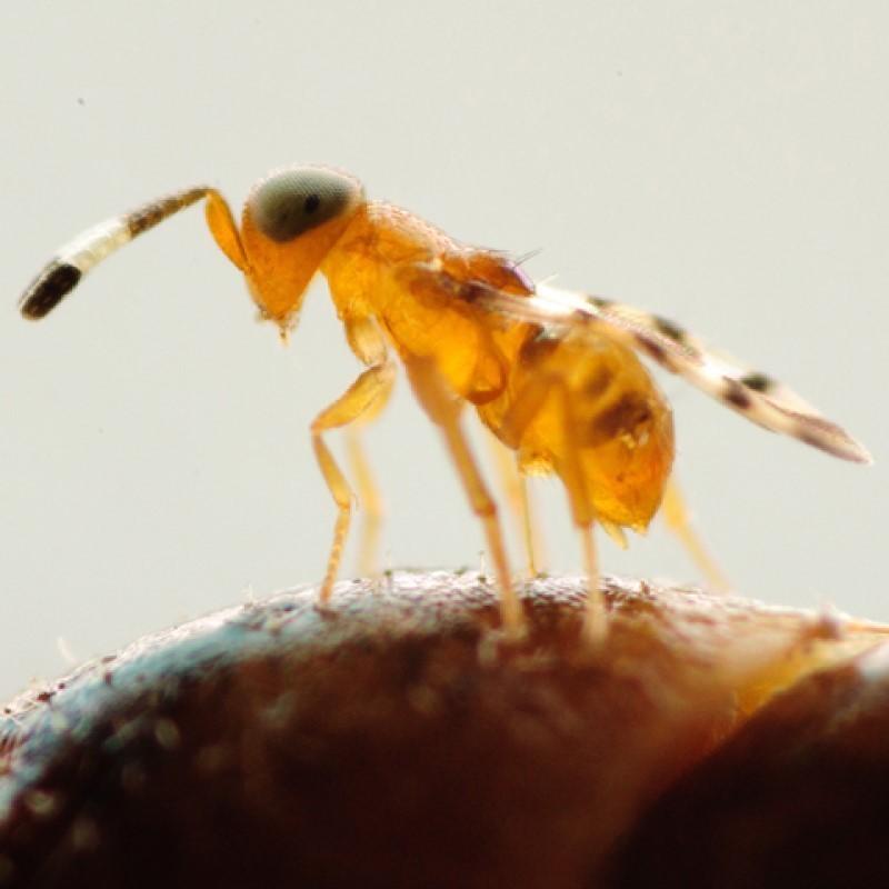 Microterys flavus (Crédit photos : Entocare)