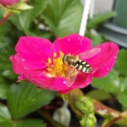 Sphaerophoria rueppellii adulte - Photo A. Coindard