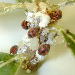 Rodolia cardinalis et Icerya purchasi