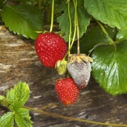 Pourriture grise sur fraises (Source : Koppert)