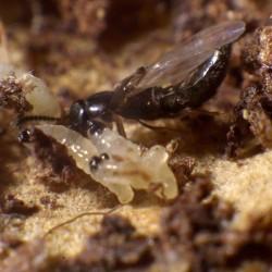 Dalotia coriaria en action