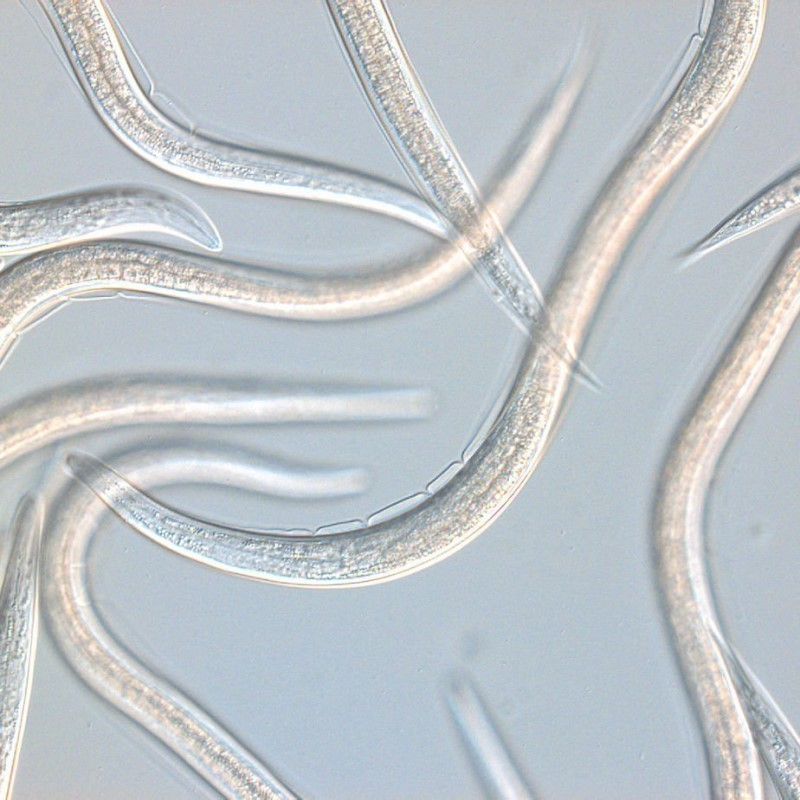 Steinernema carpocapsae, vue au microscope.