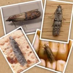 Tricholine Mites cible en particulier Plodia interpunctella, Ephestia kuehniella, Ephestia elutella, Sitotroga cerealella