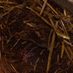 Larves de mouches présentes dans la litière