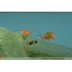 Phytoseiulus persimilis s'attaquant à un acarien ravageur