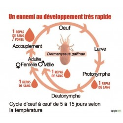 Cycle de vie du pou rouge
