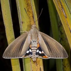 Papillon Paysandisia_archon.  Source: Muséum d'histoire naturelle de Toulouse
