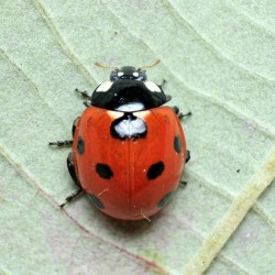 Coccinella 7 points au stade adulte