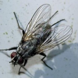 Petite mouche domestique