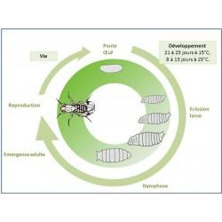 Cycle de Drosophila Suzukii (Source : ephytia)