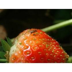Drosophila Suzukii sur fraise (Source : ephytia)