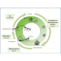 Cycle biologique d' Aphelinus abdominalis