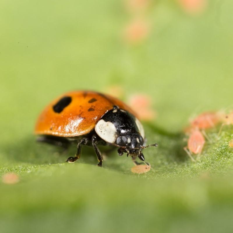 Adalia - Coccinelle à deux points adulte mangeant des pucerons