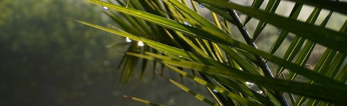 Des solutions pour préserver vos palmiers